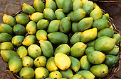 Recife, Pernambuco State, Brazil. Basket full of mangoes.