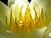 close-up of a blooming yellow water lily bloom<br /> <br /> detalle de una nenúfar amarilla en flor<br /> <br /> Nahaufnahme einer blühenden gelben Seerosenblüte<br /> <br /> 2272 x 1704 px<br /> 150 dpi: 38,47 x 28,85 cm<br /> 300 dpi: 19,24 x 14,43 cm