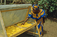 Farmer using a solar dryer to dry mangos  for the market