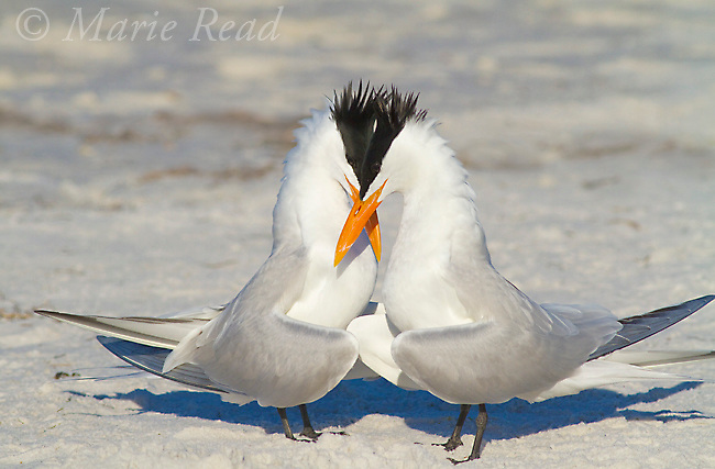 Royal Terns (Sterna maxima), pair crossing bills during courtship behavior, Fort DeSoto Park, Florida, USA