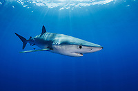 WQ1557-D. The Blue Shark (Prionace glauca) is found throughout tropical and temperate seas worldwide, primarily in the open ocean, from the surface to over 200 meters deep. It grows to over 3.5 meters long and feeds on squid, schooling bony fish like anchovies and sardines, and also on krill. Large eyes, long pectoral fins, long pointed nose, sleek body and metallic blue to silver gray skin color help to identify it. Azores, Portugal, Atlantic Ocean. <br /> Photo Copyright © Brandon Cole. All rights reserved worldwide.  www.brandoncole.com