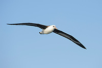Laysan Albatross (Phoebastria immutabilis) soaring. Gray's Harbor County, Washington. October.