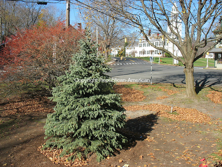 WOODBURY, CT - 11 November 2010 - 111110RH01 - A new tree planted on the North Green in Woodbury replaces the town's Christmas tree, which workers chopped down last month at the behest of the town's Shade Tree and Sidewalk Committee, concerned it had become overgrown and diseased. The town will decorate a fully grown tree on the south end of the green for the holiday. Rick Harrison Republican-American