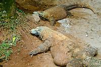 Indonesia, Java, Jakarta. Komodo dragon in Ragunan Zoo.