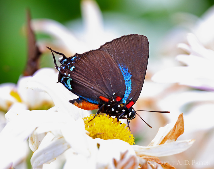 Male great purple hairstreak
