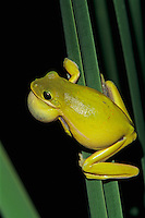 Green Treefrog, Hyla cinerea, male calling at night, Welder Wildlife Refuge, Sinton, Texas, USA
