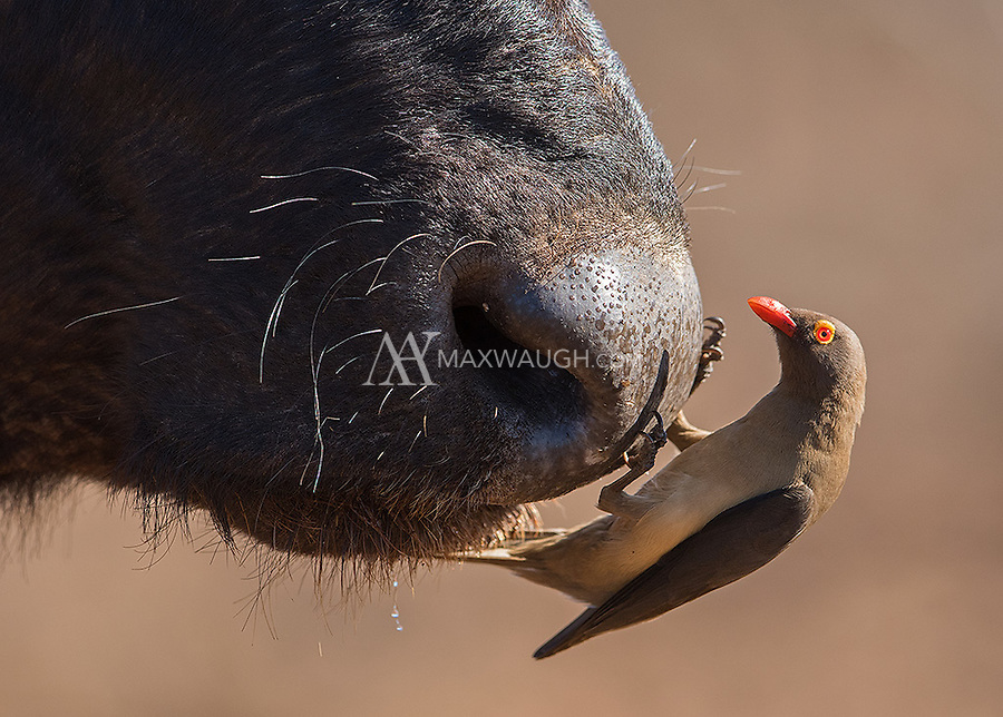 Oxpeckers are a common sight on large mammals.  In this case, a cape buffalo nose provides the perch.