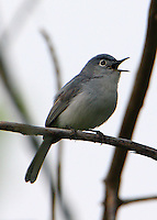 Adult male blue-gray gnatcatcher in breeding plumage singing