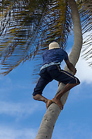 A young man shins up a palm tree in Bottom Bay, Barbados, for a coconut. Both the milk and the flesh of a coconut are much used in the West Indies.