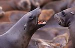 CA sea lions