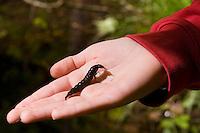 Larve eines Wasserkäfer, Wasser-Käfer auf der Hand eines Kindes