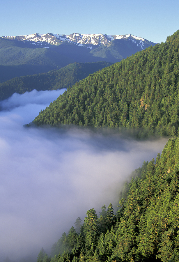 Forest rising above fog, Hurricane Ridge in background, Lookout Rock, Heart of the Hills Road, Olympic National Park, Washington
