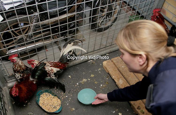 Foto: VidiPhoto..EPE - De politie in Epe heeft in een hondenhok in een garage bij het politiebureau een aantal hanen ondergebracht. De dieren zijn vermoedelijk gedumpt door de eigenaar om de ophokplicht te ontlopen. De politie heeft de hanen gevangen omdat de dierenambulance zich vanwege de strenge regelgeving zich niet mag bemoeien met pluimvee. De AIVD zal de hanen komende week ophalen.