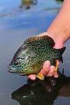 BLUEGILL PAN FISH