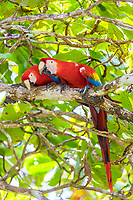 scarlet macaw, Ara macao, pair, Corcovado National Park, Osa Peninsula, Costa Rica, Central America