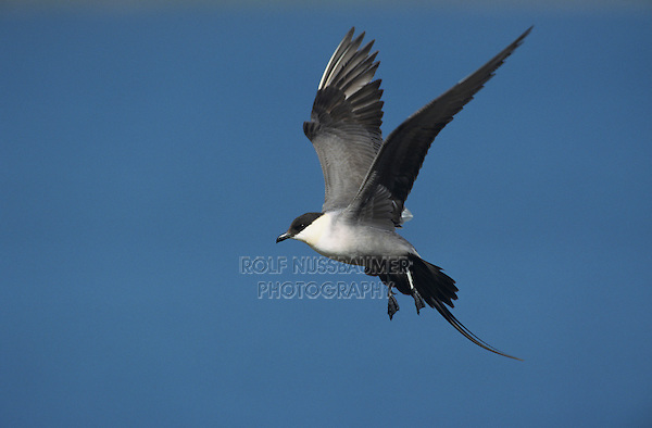 Long-tailed Jaeger, Stercorarius longicaudus, adult in flight, Gednjehogda, Norway, Europe