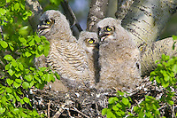 Great Horned Owl triplets sitting in a nest