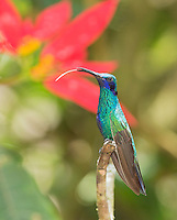 Sparkling violet-ear hummingbird, Colibri coruscans, perched on a branch in Tandayapa Valley, Ecuador