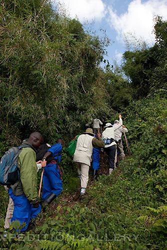 Trekking on trail up steep terrain in Volcanoes National Park (Parc National des Volcans), Rwanda. [NO MODEL RELEASE]