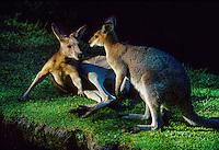 Kangaroos, Currumbin Sanctuary, Gold Coast, Queensland, Australia
