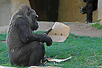 A Gorilla stares at cardboard with two holes in it.