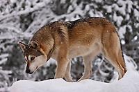 Europe/Finlande/Laponie/Kongäss: Loup