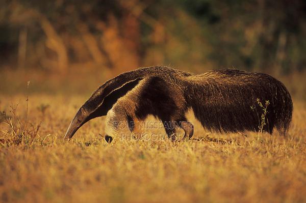 Giant Anteater, (Myrmecophaga tridactyla), adult walking, Pantanal, Brazil, South America