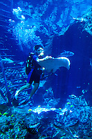 A diver interacts with a Stingray and other sea creatures in the main display tank at Sealife Park. Located along the east coast of Oahu.