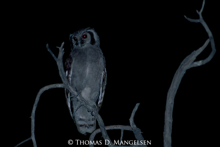 Verreaux's Eagle Owl perched on a dead tree at night.