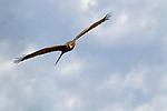 Yellow-billed Kite (Milvus aegyptius) flying, Kafue National Park, Zambia