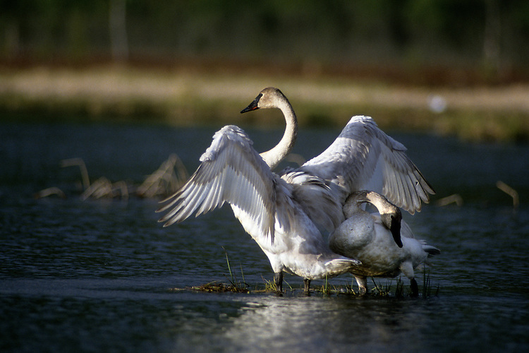 A trumpeter swan stretches its wings before flying from Potter Marsh in Anchorage, Alaska.