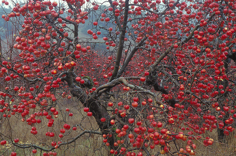 Apple trees at Gowans, Anderson Valley California