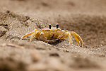 Atlantic Ghost Crab (Ocypode quadrata), Tortuguero National Park, Costa Rica