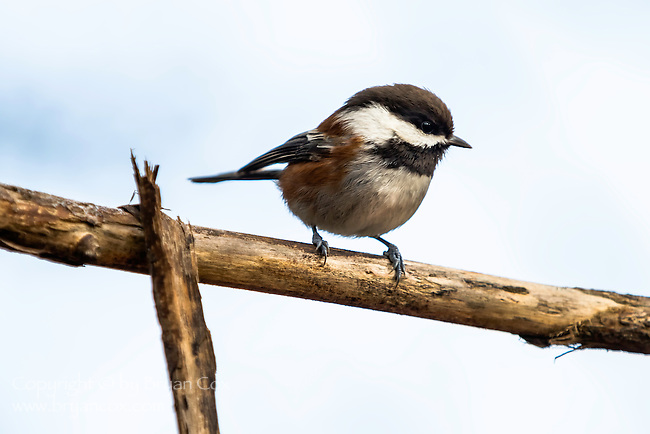 Chestnut-backed chickadee, coast mountain range, Oregon