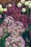 Four different kinds of Allium ornamental onion bulbs: Allium christophii (front), A. x hollandicum 'Purple Sensation' & 'Album'