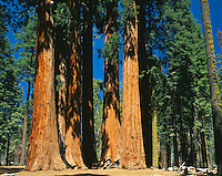 Sequioia National Park, CA<br /> Group of Giant Sequoia (Sequoiadendron giganteum) known as the Parker group on Crescent Meadow road