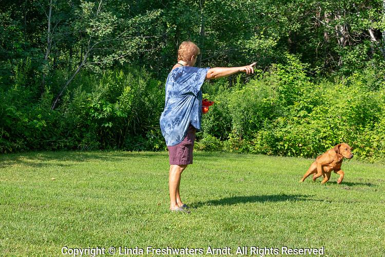 Fox red Labrador retriever responds to the trainer's hand signal.