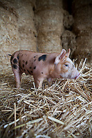 Portrait of a piglet in a barn amongst the straw