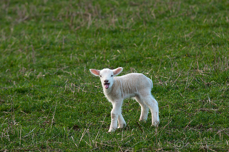 Lambs, just a few days old, on a field in northern England.  Sheep farming is a major economic activity in the UK, with large fields reserved for it. In later winter, and beginning of Spring, it's common to see many newborn lambs in the fields.