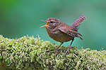 Winter Wren (Troglodytes troglodytes) singing from a mossy branch in Victoria, British Columbia, Canada.