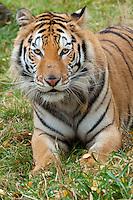Siberian Tiger portrait - CA