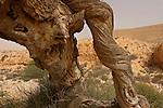 Israel, the Negev desert. Ephedra next to Atlantic Pistachio in Wadi Elot