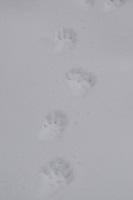 Baummarder, Edelmarder, Baum-Marder, Marder, Fährte, Spur im Schnee, Marderspur, Martes martes, European pine marten