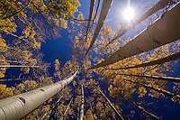 Aspen trees turn a bright yellow as they reach for the sky  in the San Jaun Mountains near Telluride Colorado.