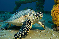 hawksbill sea turtle, Eretmochelys imbricata, on the wreck of the Duane off Key Largo, Florida, USA