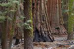 Giant Sequoia (Sequoiadendron giganteum) trees in forest, Sierra Nevada, Sequoia National Park, California