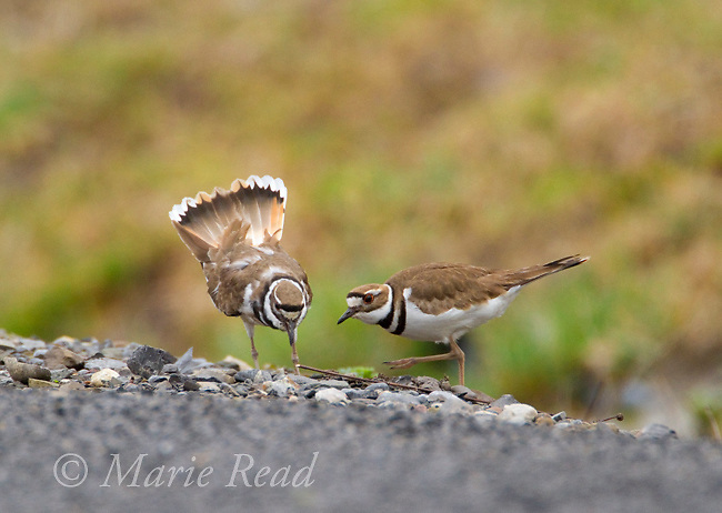 Killdeer (Charadrius vociferus) pair interacting at nest scrape, male (L) displaying (bowing with outspread tail) to female (R), no eggs yet, early spring, New York, USA