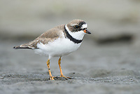 Semipalmated Plover (Charadrius semipalmatus). Grays Harbor, Washington. May.