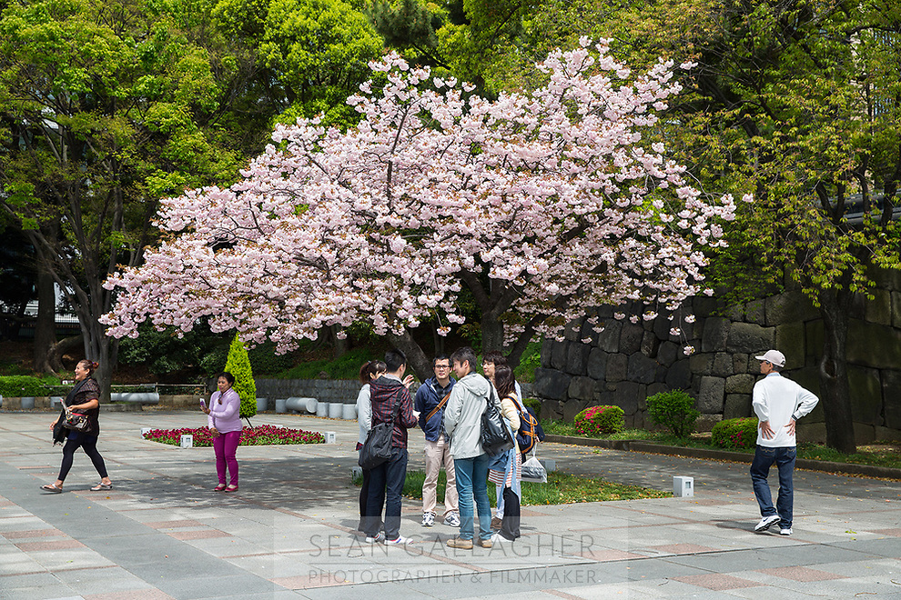 Tourists stand underneath a pink cherry blossom tree at the Imperial Palace in Tokyo.