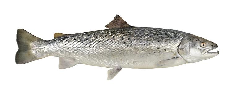 Sea Trout - Salmo trutta (anadromous form)